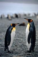 King Penguins gathered on beach of South Georgia Island Southern Atlantic Ocean Antarctic Summer