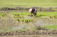 Planting rice, near Vientiane, Laos, Indochina, Southeast Asia, Asia
