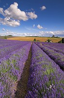 Rows of lavender plants at Snowshill Lavender Farm, Broadway, Worcestershire, Cotswolds, England, United Kingdom, Europe