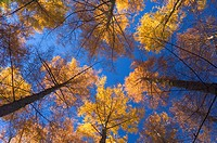 Japanese larches, Hanmer Springs, Canterbury, South Island, New Zealand, Pacific