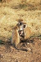 Vervet monkey with infant Ceropithecus aethiops, Ngorongoro Crater, Tanzania, East Africa, Africa