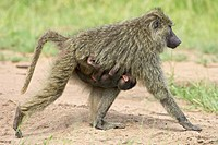 Olive baboon Papio cynocephalus anubis infant riding on its mothers chest, Serengeti National Park, Tanzania, East Africa, Africa
