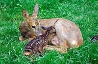 10853824, Europaean roe deer, calf, fawn, Capreolu