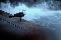 Herring Gull On Edge