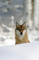 Wolf (Canis lupus) in a game reserve, Bavarian forest, Germany