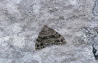 Camouflage of a moth on rock on Ben Lawers in Scotland Great Britain