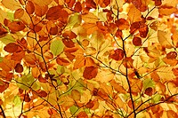 Autumnale colored beech leafs