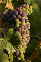 Green and blue grapes hanging on vine in vineyard, Montalcino, Tuscany, Italy