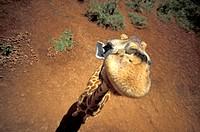 Giraffe from above ( Giraffa camelopardalis )