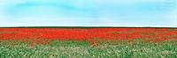 Field of poppy seed