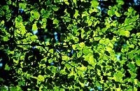Leaves beech