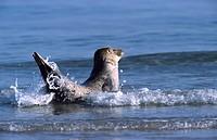 Hoursehead seal