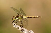 Heath dragonfly (sympetrum striolatum), female