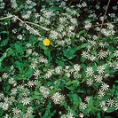 water chickweed