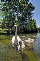 Swan swans family Westpark Munich