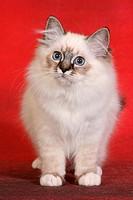 sacred cat of burma kitten _ standing
