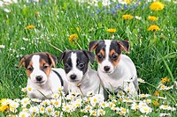 three jack russell terrier puppies _ sitting on meadow