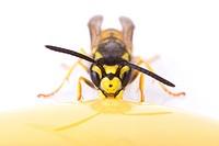 German wasp (Vespula germanica) eating honey