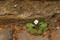 Lonely Daisy Bellis perennis at the bottom of a stone wall