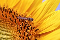 Hoverfly (Episyrphus balteatus) with sunflower