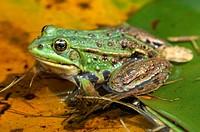 Edible frog (Rana esculenta)