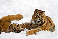 Young Sibirian Tigers (Panthera tigris altaica) are fighting in snow