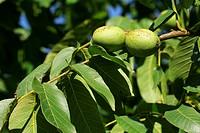 English walnut - persian walnut - nuts - fruits - walnut tree (Juglans regia)