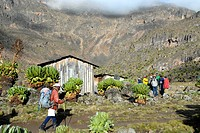 Local guide walks into Shipton's Camp (4200 m) with endemic giant groundsel (Senecio keniodendron) Mount Kenya National Park Kenya