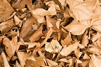 Detail of dreid maple leaves