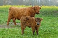 Scottish Highland Cattles - Baden Wuerttemberg Germany Europe.