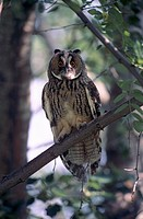 Long-eared Owl (Asio otus), Owl perched on branch, adult.