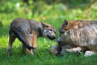 European wolf (Canis lupus lupus) with pup, puppy, Wildpark Poing wildlife park, Bavaria, Germany, Europe