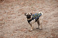 A young pug in the forest