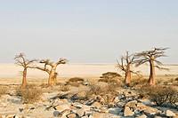 Baobabs or Adansonia digitata on Kubu Island (Lekubu) in the south west of Sowa Pan, Makgadikgadi pans, Botswana, Africa
