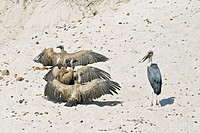 Cape Griffon or Cape Vulture (Gyps coprotheres) and Marabou Stork (Leptoptilos crumeniferus) in the dry riverbed, Boteti River, Khumaga, Makgadikgadi ...