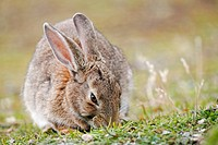 Rabbit (Oryctolagus cuniculus)at the National park Tierra del Fuego, Argentina, South America