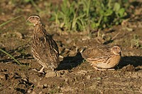 Common Quails (Coturnix coturnix) on a harvested field