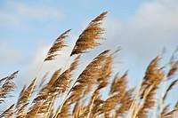 Reeds, St. Veit, Lower Austria, Austria, Europe
