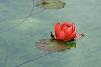 Red waterlily (Nymphaea) on the surface of a lake