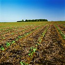 Agriculture _ Field of early growth no_till cotton / TN.