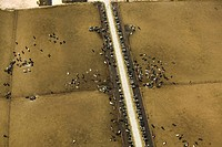 Agriculture _ Aerial view of Holstein cows at a dairy feed lot / ID.