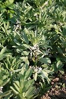 Several flowering broad bean plants