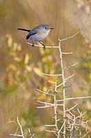 Blue_gray Gnatcatcher Polioptila caerulea perched on a branch at Falcon State Park, Texas, USA