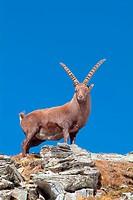 Male Alpine Ibex (Capra ibex), Franz-Josefs-Hoehe, Hohe Tauern National Park, Carinthia, Austria, Europe