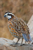 Northern Bobwhite Colinus virginianus perched on a branch at Falcon State Park, Texas, USA