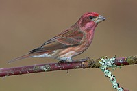 Purple Finch Carpodacus purpureus perched on a branch in Victoria, Vancouver Island, British Columbia, Canada