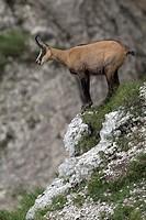 Chamois (Rupicapra rupicapra), Kelberg, Karwendel Range, Tyrol, Austria, Europe