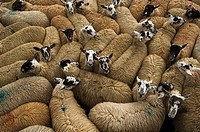 Livestock _ Pen full of Mule gimmer lambs at autumn sales / Hawes, North Yorkshire, United Kingdom.