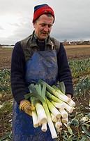 Agriculture _ A field worker presents freshly harvested late season ÒSevilleÓ variety leeks / Cumbria, England, United Kingdom.