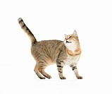 domestic cat _ standing _ cut out